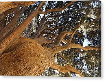 Long-lived Canvas Print - Cypress Tree In Iran by Robert Preston