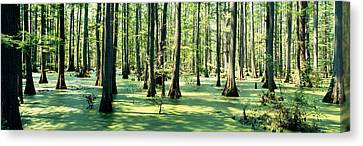 Cypress Trees In A Forest, Shawnee Canvas Print by Panoramic Images