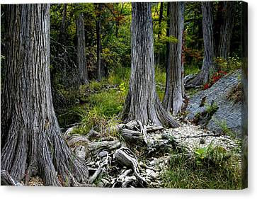 Cypress Trees In A Row Canvas Print by Mark Weaver