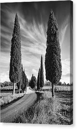 Cypress Trees - Tuscany Canvas Print by Rod McLean