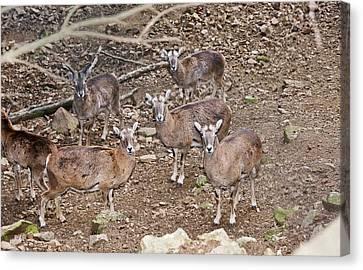 Cyprus Mouflons Canvas Print by Bob Gibbons