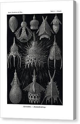 Cyrtoidea Canvas Print