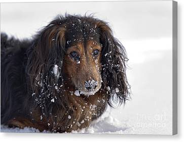 Dachshund In The Winter Canvas Print