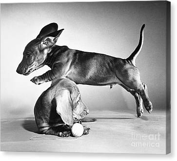 Dachshund Puppies Playing Canvas Print by ME Browning