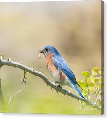 Daddy Bluebird Canvas Print