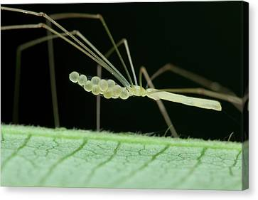 Daddy Long Legs Spider With Eggs Canvas Print