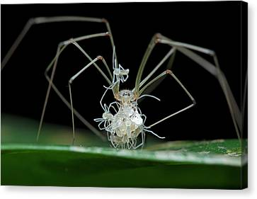 Daddy Long-legs Spider With Spiderlings Canvas Print