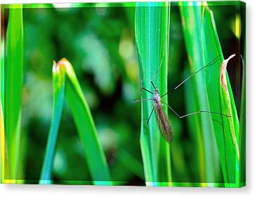 Invertebrates Canvas Print - Daddy Long Legs  by Tommytechno Sweden