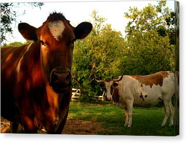 Dads Cows Canvas Print