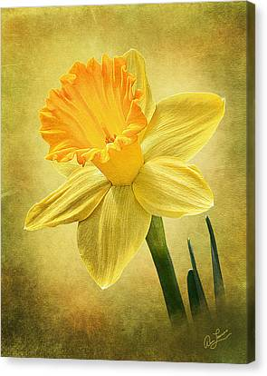 Canvas Print featuring the photograph Daffodil by Ann Lauwers