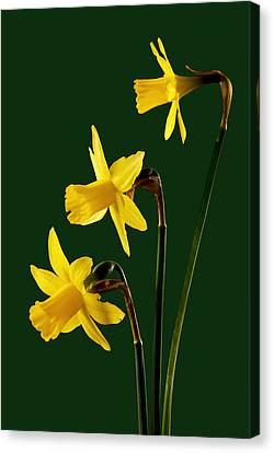 Daffodil Arrangment Canvas Print by Pete Hemington