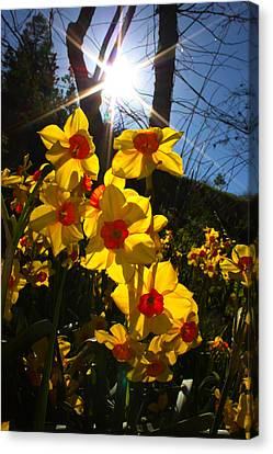 Canvas Print featuring the photograph Daffodil Days by Richard Stephen
