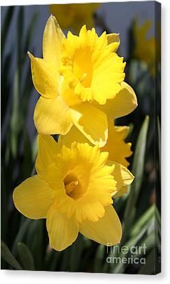 Daffodil Delight Canvas Print by Anita Oakley