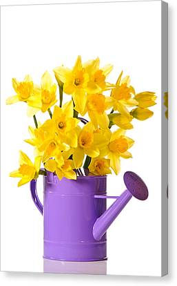 Watering Can Canvas Print - Daffodil Display by Amanda Elwell