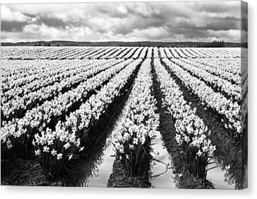 Daffodil Fields II Canvas Print
