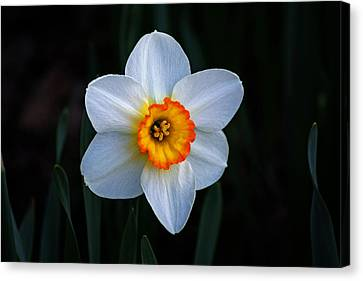 Canvas Print featuring the photograph Daffodil In Riverside Park by Bill Swartwout