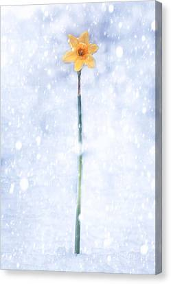 Daffodil In Snow Canvas Print by Joana Kruse