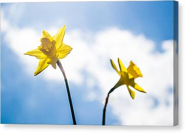 Daffodil In Spring  Canvas Print by Shelby  Young