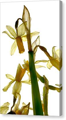 Daffodil Canvas Print by Julia McLemore