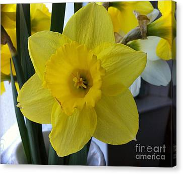 Daffodil Canvas Print by Julie Koretz