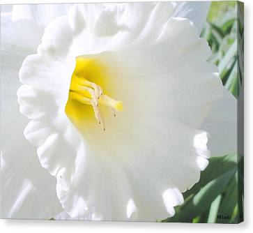 Daffodil Canvas Print by Mary Beth Landis