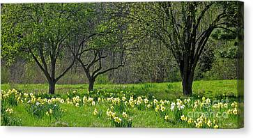 Daffodil Meadow Canvas Print by Ann Horn