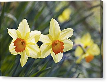 Spring Bulbs Canvas Print - Daffodil (narcissus 'red Devon' by Science Photo Library