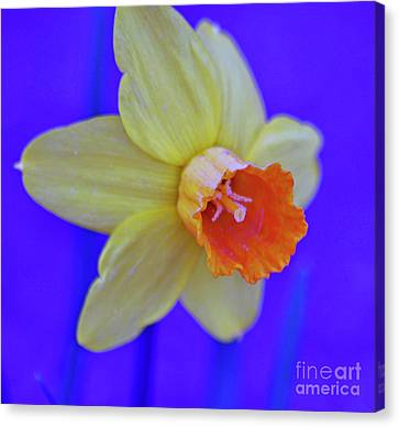 Canvas Print featuring the photograph Daffodil On Blue by Juls Adams