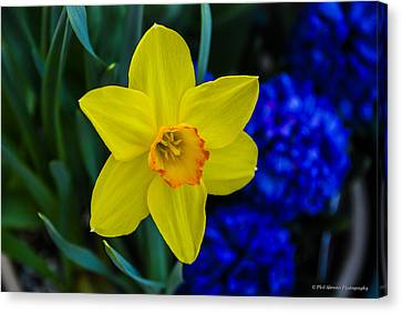 Canvas Print featuring the photograph Daffodil by Phil Abrams