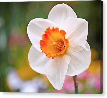 White Flower Canvas Print - Daffodil  by Rona Black