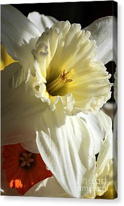 Daffodil Still Life Canvas Print