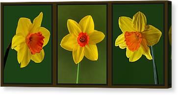 Daffodil Triptych Canvas Print by Pete Hemington