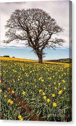 Daffodil Valley Canvas Print by Adrian Evans