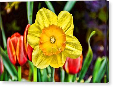 Tulip Canvas Print - Daffodil With Style by Jeanne May