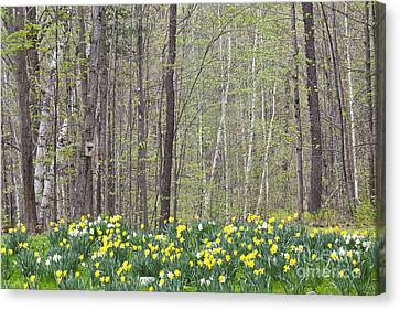 Daffodil Woods Canvas Print by Alan L Graham