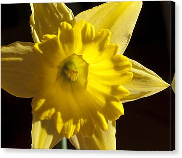 Canvas Print featuring the photograph Daffodile by Haleh Mahbod