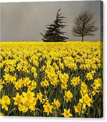 Daffodils A Plenty Canvas Print