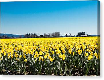Daffodils And Blue Skies Canvas Print