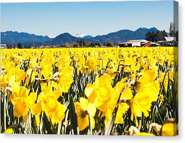 Daffodils And Snow-capped Mountains Canvas Print