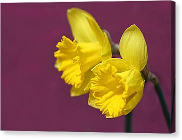 Canvas Print featuring the photograph Daffodils by Barbara West
