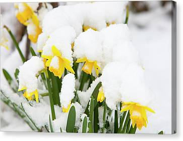Daffodils Covered In Snow Canvas Print