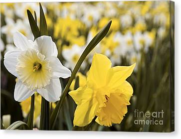 Daffodils Flowering Canvas Print