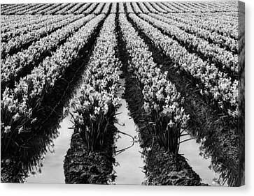 Daffodils Forever Canvas Print