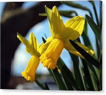 Daffodils Canvas Print by Joseph Skompski