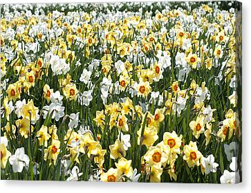 Canvas Print featuring the photograph Daffodils by Lana Enderle