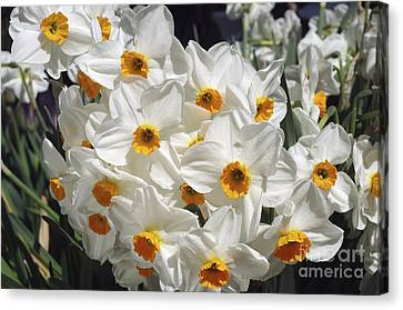 Spring Bulbs Canvas Print - Daffodils (narcissus 'geranium') by Neil Joy