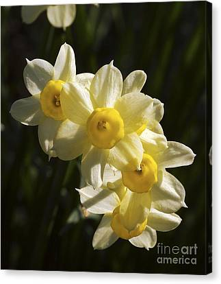 Spring Bulbs Canvas Print - Daffodils (narcissus 'minnow') by Neil Joy