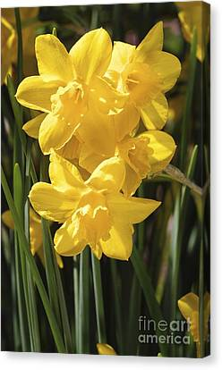 Spring Bulbs Canvas Print - Daffodils (narcissus 'orange Queen') by Neil Joy
