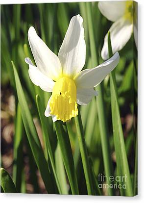 Daffodils (narcissus 'pipit') Canvas Print by Neil Joy