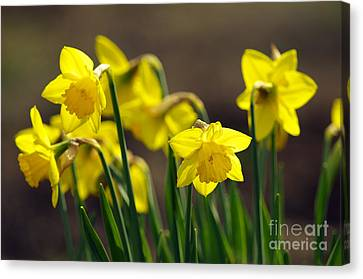 Daffodils Canvas Print by Sharon Talson